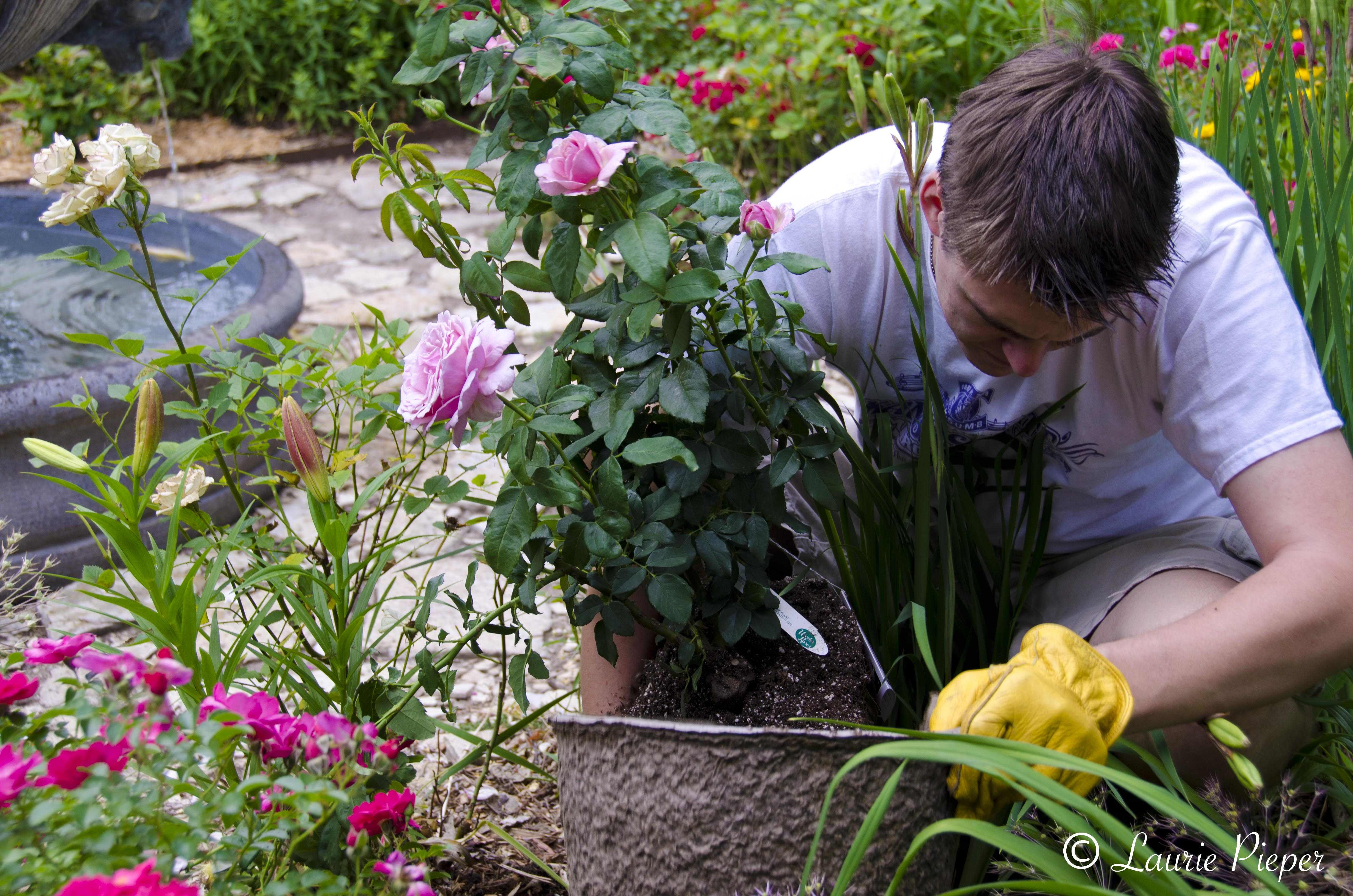 Fragrant roses a taste of morning - Planting rose shrub step ...
