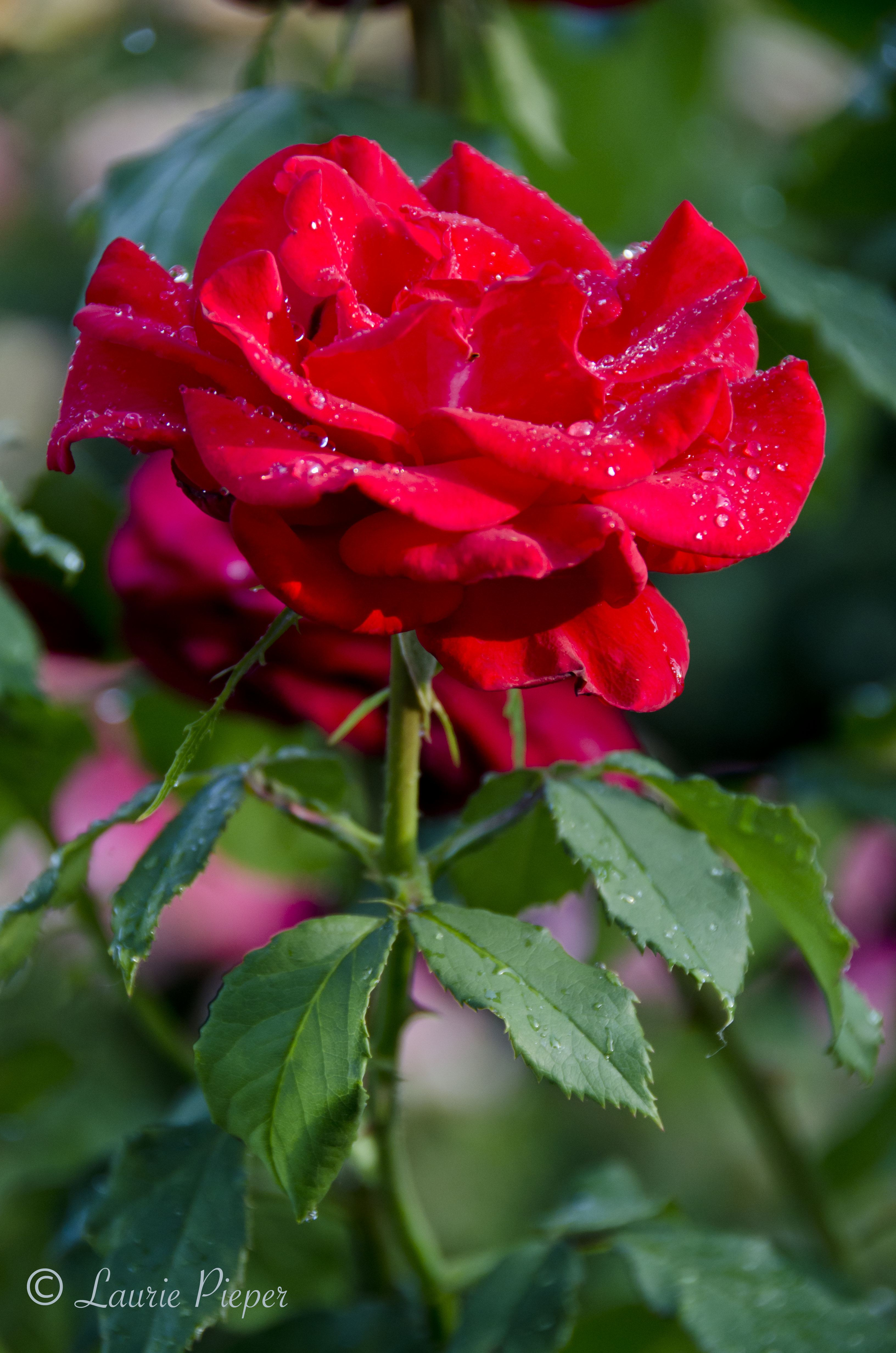 Roses In Garden: The James W. Berry Memorial Rose Garden, Manhattan City