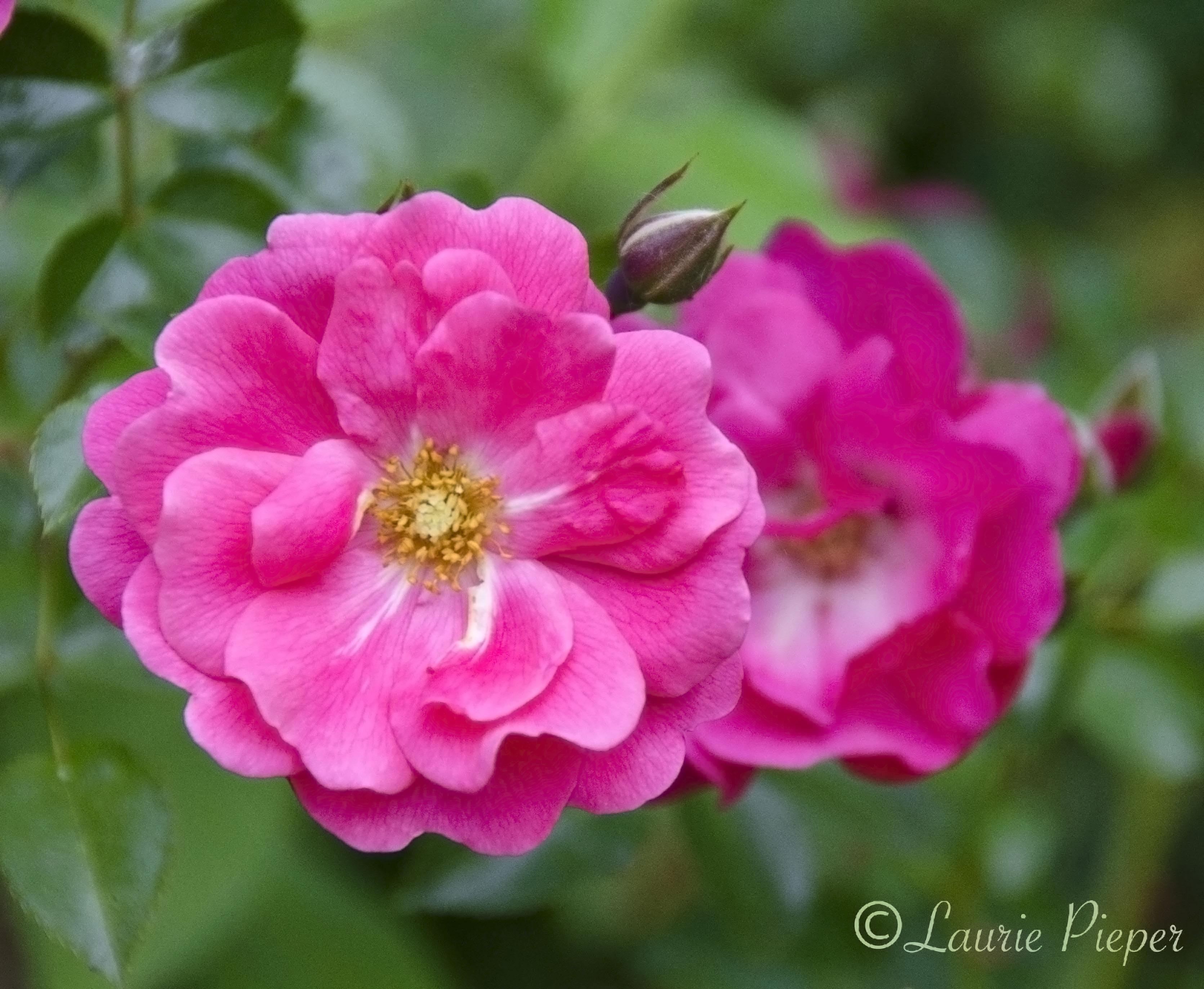Magenta a taste of morning flower carpet pink rose dhlflorist Image collections