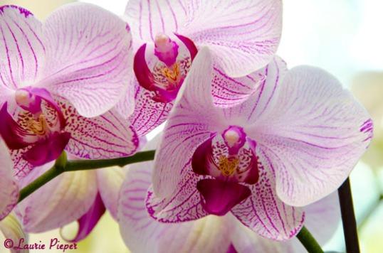 OrchidTrio