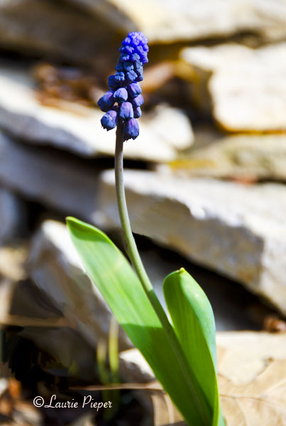 Muscari On The Rocks