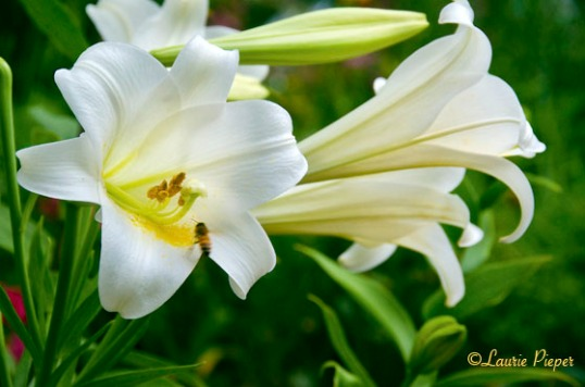 EasterLily2