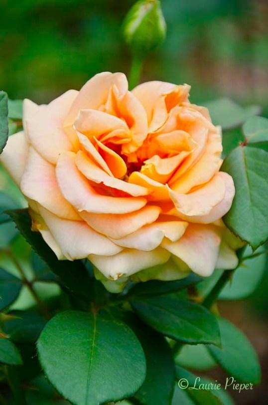RoseMarilynMonroeBlossom1