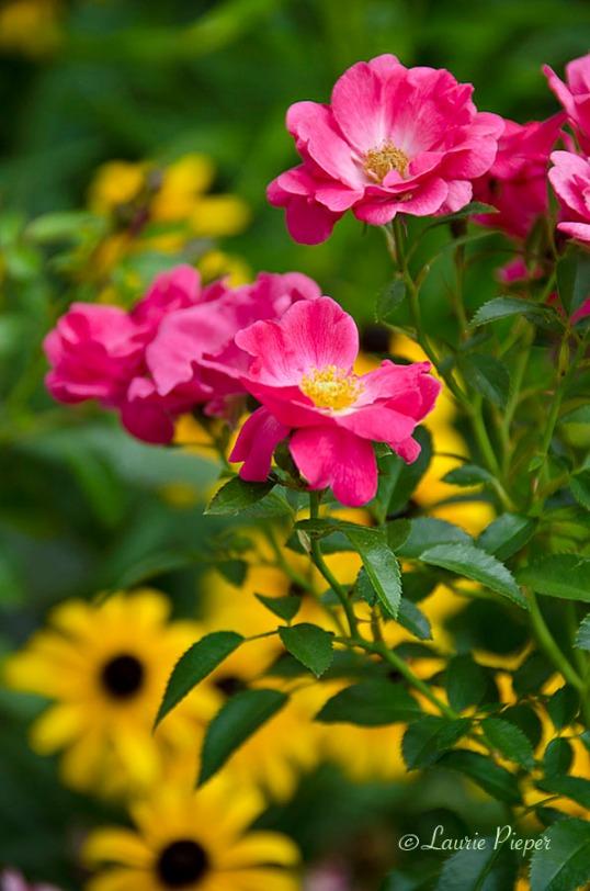 RosesMagicCarpet&Rudbeckia2