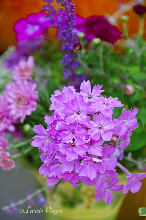Phlox&AutmnFlowers