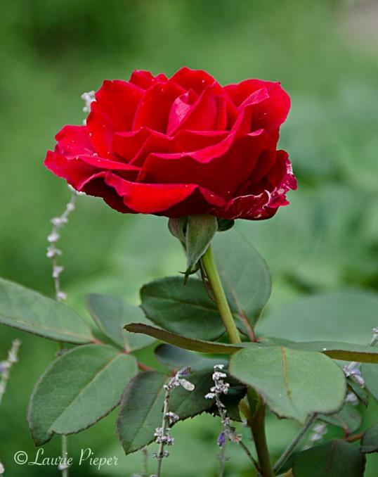 RosesMrLincoln