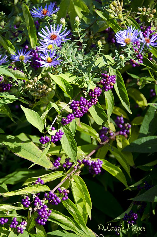 BeautyBerry&Asters