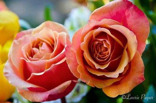 RosesSalmonBicolor