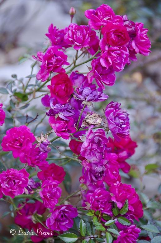 RoseClustersMagentaAutumn