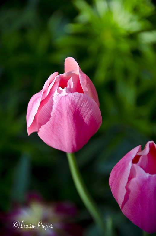 TulipsPinkLate