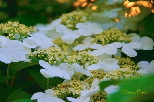ViburnumBlossoms2