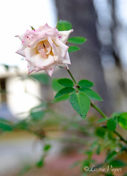 RoseForAbbey
