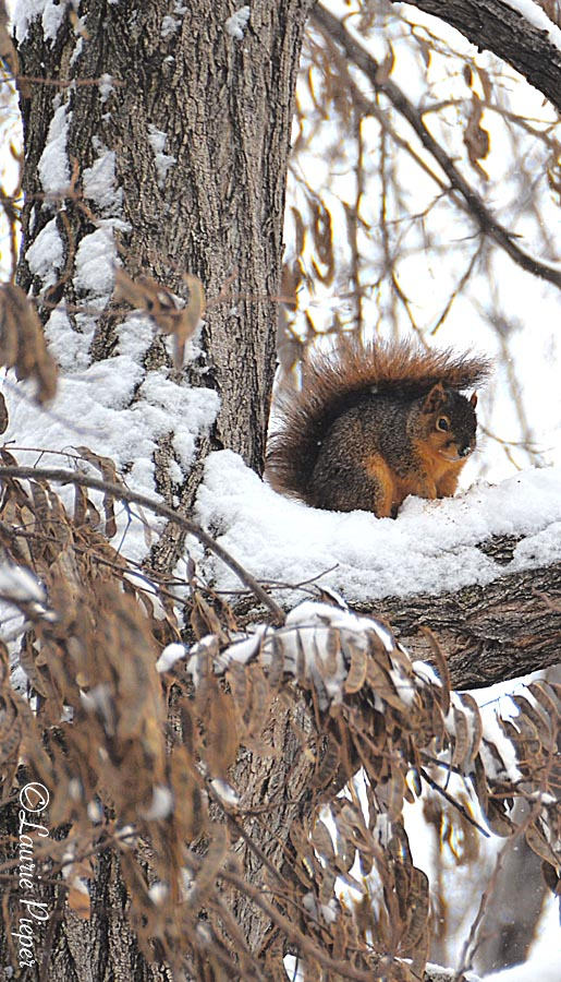 SquirrelSnowyBranch