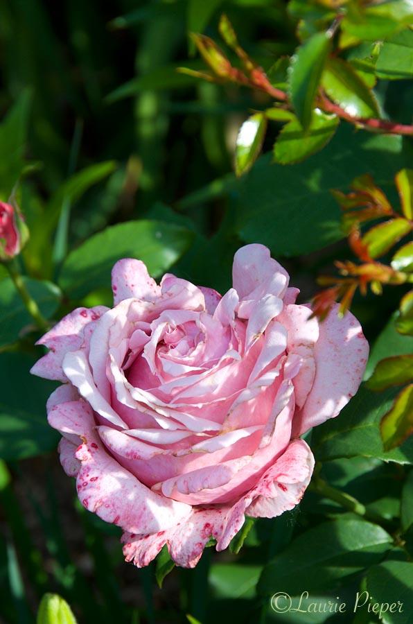 u201c - Fragrant Roses