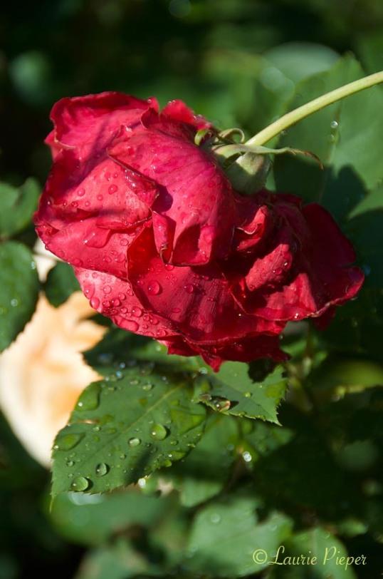 RoseMrLincolnRain