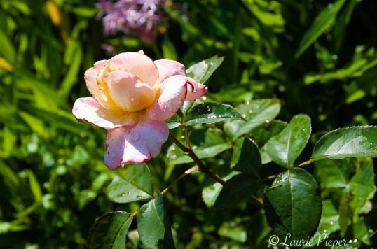 RoseSecretPartiallyOpen