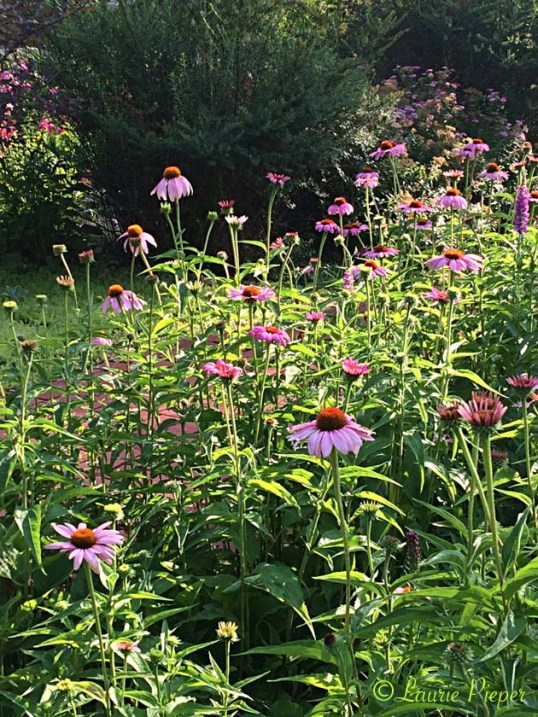 BorderGardenEchinacea