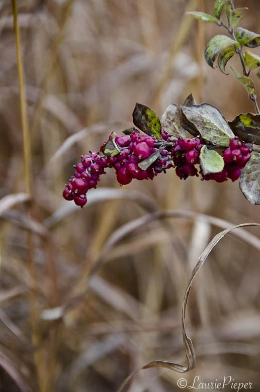 magentaberriesdriedgrasses